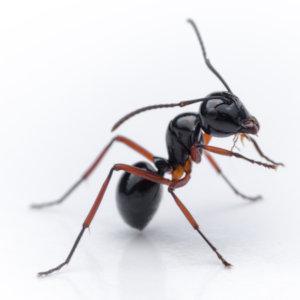 Black ant sitting up