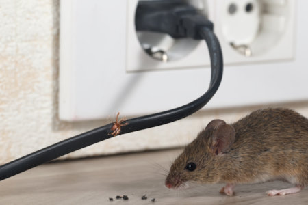 Mouse next to a chewed-through power cable plugged into the wall